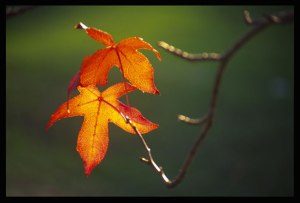 autumn-leaves-on-branch-crop